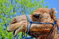 Camel closeup portrait Stock Photo