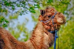 Camel closeup portrait Royalty Free Stock Photography
