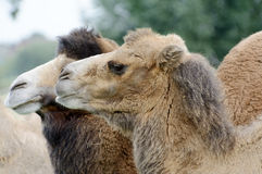 Camel closeup Stock Photography