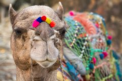 Camel with colored decoration in Pushkar, India Royalty Free Stock Photos