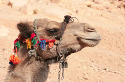 Camel in colorful harness stock photos