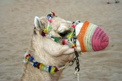 Camel with colorful muzzle. Side portrait of camel with colorful muzzle and decorations, sandy desert in background royalty free stock photos