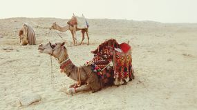 Camel. With colors in dessert setdown in sun royalty free stock photography