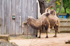 Camel in a compound in London Stock Photo