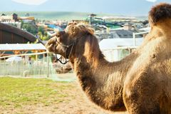 The camel in the contact ZOO. Stock Photography
