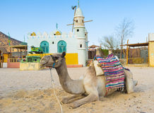 The camel in the corral Stock Images