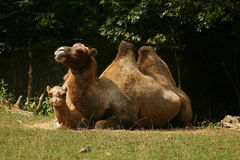 Camel Couple. A cute camel couple Royalty Free Stock Photos