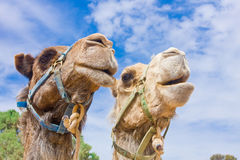 Camel couple Stock Image
