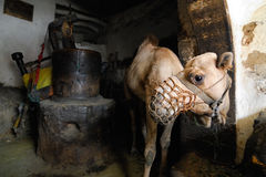 Camel at creamery, Yemen Royalty Free Stock Photography