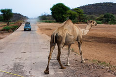 Camel crossing Stock Images