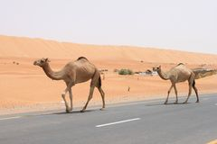 Camel Crossing Stock Image