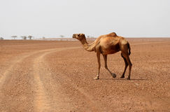 Camel crossing the desert road. With arid drought countryside. Marsabit, Kenya Royalty Free Stock Image