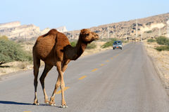 Camel crossing the road. On the Queshm Island, Persian Gulf, Iran Royalty Free Stock Images