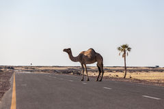 Camel crossing the road in the desert Royalty Free Stock Images