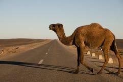 Camel Crossing Street - Merzouga - Morocco Stock Photos