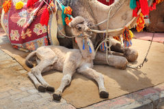 Camel cub lying with mother Royalty Free Stock Photos
