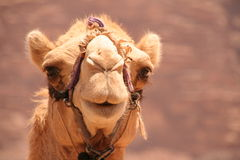 Camel. Cute camel face in Wadi Rum Jordan Stock Photography