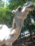 Camel. Cute Gentry zoo animals Royalty Free Stock Photo