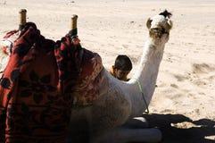 Camel at the Dahab Desert. In Egypt Stock Photos