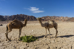 Camel in Dahab Royalty Free Stock Photography