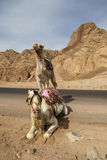 Camel in Dahab Royalty Free Stock Image