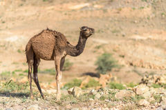 Camel in Danakil Depression desert Stock Image