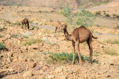 Camel in Danakil Depression desert Royalty Free Stock Photography