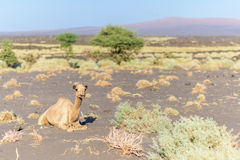 Camel in Danakil Depression desert Royalty Free Stock Images