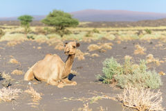 Camel in Danakil Depression desert Stock Photo