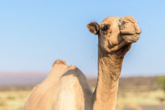 Camel in Danakil Depression desert Stock Photography