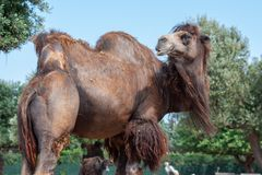 Camel with a dark brown coat, beard in the wind. Taken on a sunny day royalty free stock photo
