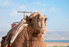 A camel at the Dead Sea . Stock Image