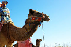 Camel with decorative halter Royalty Free Stock Photo
