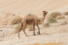 Camel in the desert. Own by beduins stock images