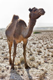 Camel in a desert Royalty Free Stock Photos