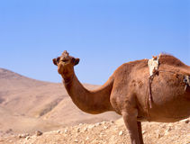 Camel in the desert Stock Photography
