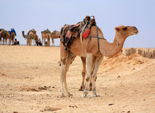 Camel in desert Royalty Free Stock Photos