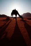 Camel in desert Royalty Free Stock Photos