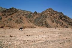 Camel in desert. Camel in egyptian stone desert Stock Image