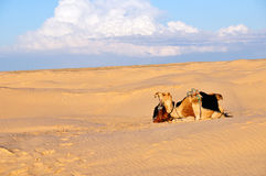 Camel in the desert Royalty Free Stock Images