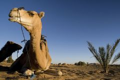 Camel in the desert Stock Photos