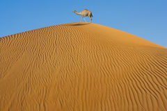 Camel in desert. Camel in the desert on a dune Royalty Free Stock Image