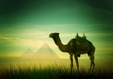 Camel in desert Royalty Free Stock Photography