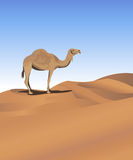 Camel in the Desert Stock Photo