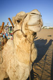 Camel in the desert. Royalty Free Stock Photos