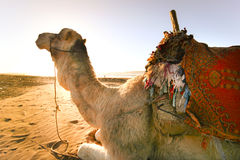 Camel in the desert. Stock Photos