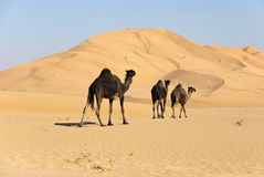 Camel in Desert Stock Image