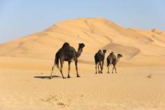Camel in Desert. Three camels in the araischen desert  rn Stock Image