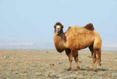 Camel in the desert. Kazakhstan Royalty Free Stock Photo