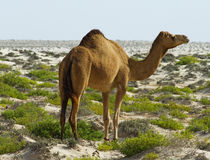 Camel at desert Royalty Free Stock Image